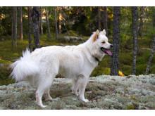 Finsk lapphund i skogen