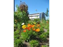 Ny botanisk trädgård invigd på Lantbruksuniversitetet i Uppsala