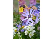 Cineraria i samplantering med vårens växter