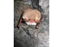 Bat night i Tabergs gruva på internationella fladdermusnatten 30 augusti