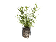 Dragon (Artemisia dracunculus)