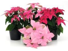 Lucka nr 16 - Pricettiastjärna i en Blomstrande Julkalender