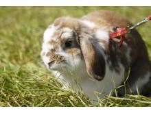 Brunfläckig kanin