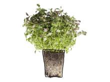 Timjan (Thymus vulgaris)