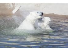 Ranua Polar Bear Cub 4