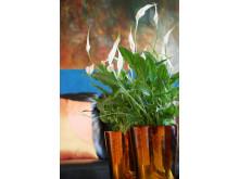 Fredskallan - Spathiphyllum