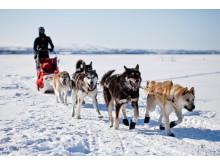 Hundsläde i Alaska