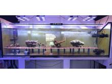 Experimentakvarium för sexuell reproduktion av koraller.