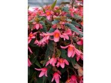 Begonia Mistral Pink