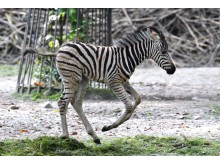 PI-Zoo-DARWINEUM-80-2017_Zebra-Nachwuchs_Zoo Rostock_Kloock_03