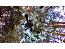 Black and white ruffed lemur, Andasibe-Mantadia National Park, Madagaskar