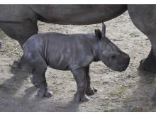 Noshörningfödsel på Borås Djurpark