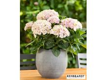 Hortensia Rembrandt® 'Elegant Rosa'