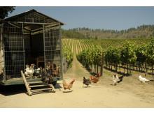 Hönor i Matetics vingård