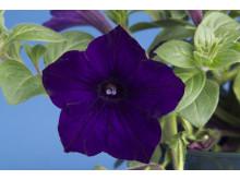 Petunia Sanguna Cobalt Blue
