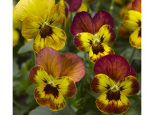Viola (Tricolor-Gruppen) 'Deltini Copperfield'