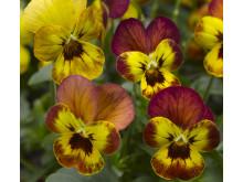 Viola (Tricolor-Gruppen) 'Deltini Copperfield'