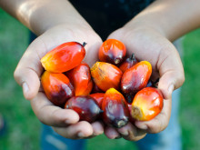 Palmoljefrukter