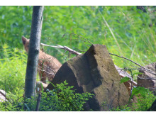 Ungen gömmaer sig bakom träd