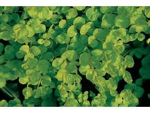 Gulbladigt penningblad – Lysimachia nummularia 'Goldilocks'