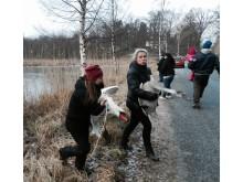 Infångande av svanar vid sjö i Nacka