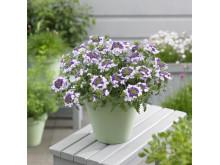 Verbena, Glandularia Landai®Twister Blue på bordet