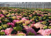 Vakkert i hortensiaveksthusene