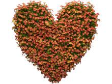 Ser du det enskilda hjärtat i det mönster som bildas i blomman?