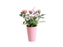 """Når du køber """"Støt Brysterne""""-mini-roser i Lidl, støtter du automatisk Kræftens Bekæmpelse med 3 kr."""