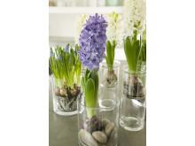 Hyacinter och pärlhyacinter med glas och sten