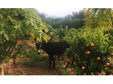 Donkie Fig trees Oranges Paradis du Safran_Source NOSADE