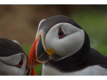 Papageitaucher_Bedrohte Tiere_RX10 III von Sony_07
