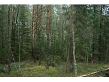 lavskrikaskog_DSC07916