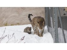 Leopardunge nära mamma Soraya