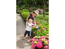 Forever&Ever - trädgårdshortensia som kan planteras i kruka eller trädgård