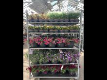 Sommarblomsodling hos Görarps Blomsterproduktion