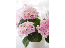 Rosa hortensia, närbild