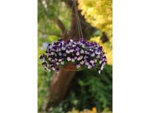 Viola x wittrockiana 'Cool Wave Violet wing'