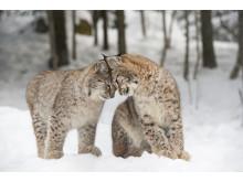 Lodjursungar Orsa Rovdjurspark 2018