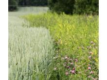 Blommande fältkanter leder till mer mat och bostäder för insekter och bin
