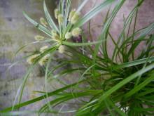 Kypergress, Cyperus er en skjønnhet av en vital grønnplante