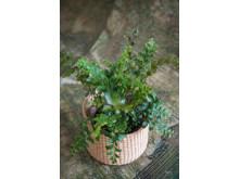 Ormbunkar - fönsterbrädans bräkenväxter