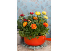 Ranunculus, orange blommor och kruka