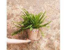 Terracottakruka med växt