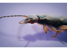 What's bugging you at home this winter? European Earwig