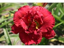 Daglilja 'Ruby Corsage'