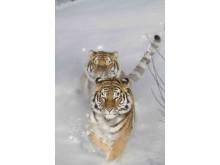 Sibirisk tiger Orsa Rovdjurspark