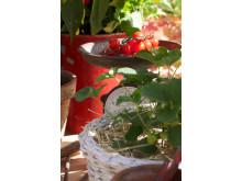 Tomater odla