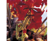 Röd amaryllis närbild