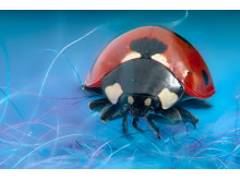 Sjuprikket marihøne/ Seven-spot ladybird/ Coccinella septempunctata